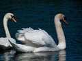 Swans a pair of swimming on a lake Stock Photo