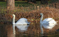 Swans pair of swimming in the lake Royalty Free Stock Photo