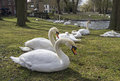 Swans in the park historic center of bruges belgium Royalty Free Stock Photos