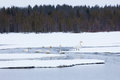 Swans On Partially Frozen Lake