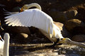 Swans playing water flapping its wings Royalty Free Stock Photos