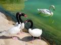 Labute na rybník