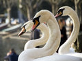 Swans portrait of on como lake italy Royalty Free Stock Images