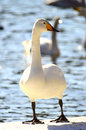 Swans posing looking to right Royalty Free Stock Image