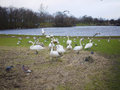 Swans protecting their nest lake in edinburgh Royalty Free Stock Photography