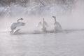 Swans quarrel lake misty winter (Cygnus Cygnus)