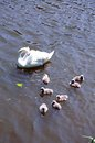 Swans on River Avon, Stratford-upon-Avon Royalty Free Stock Photo