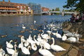 Swans on the River Thames at Windsor, London Royalty Free Stock Photo