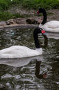 Swans in a Russian zoo. Royalty Free Stock Photo