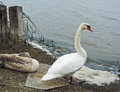 Swans on shore of the lake resting in twilight a summer day Stock Photography