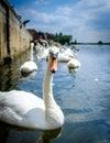 Swans at st.ives,cambridgeshire 2 Royalty Free Stock Photo