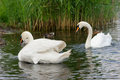 Swans swan comes ashore in addition to the chicks and ducks Royalty Free Stock Photos