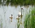 Swans Royalty Free Stock Photo
