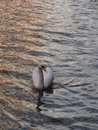 Swans a swimming beautiful swan away in lincoln canal in the spring Royalty Free Stock Image