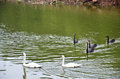 Swans swimming at lake of reservoir in pang ung mae hong son thailand oong or pangtong a large is popular and Royalty Free Stock Photos