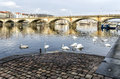 Swans swimming on the river vltavav prague Stock Photos