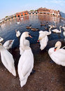 Swans by the Thames, Windsor Royalty Free Stock Photo