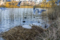 Swans in their nest mute surrounded by reed and birds flying Stock Image