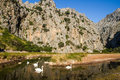 Swans at torrent de pareis having a swim in a creek in mallorca Royalty Free Stock Images