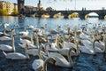 Swans on Vltava river in Prague, Czech Republic Royalty Free Stock Photo