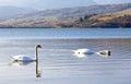 Swans at water basin Liptovska Mara, Slovakia