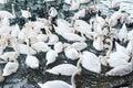 Swans water white Arkivbild