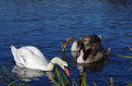Swans white and to grey in the lake Royalty Free Stock Images