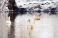 Swans on the winter lake. Royalty Free Stock Images