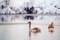 Swans on the winter lake. Stock Photography