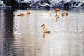 Swans on the winter lake. Royalty Free Stock Photos