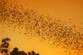 Swarm of bats a lot flaying in the evening sky to search for food picture is toned Royalty Free Stock Photos