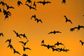 Swarm of bats a lot flaying in the evening sky to search for food picture is toned Stock Photography