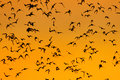 Swarm of bats a lot flaying in the evening sky to search for food picture is toned Stock Photos