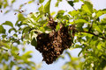 Swarm of bees Royalty Free Stock Photo