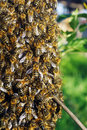 A swarm of bees Stock Photos