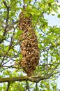 Swarm of bees over the tree in countryside Stock Photography