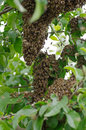 Swarm of bees on the tree Stock Images