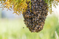 Swarm of bees on a tree branch Royalty Free Stock Photography