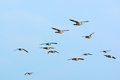 Swarm brent gooses in the sky flying blue Stock Photo