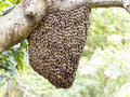 Swarm of honey bee clinging Royalty Free Stock Photo