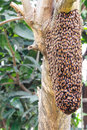 Swarm of honey bee  on tree Royalty Free Stock Photo