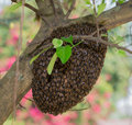 Swarm thailand honey bees clinging to tree Stock Photography
