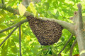 Swarm of wasps in a tree Stock Photos