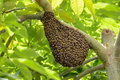 Swarm of wasps in a tree Royalty Free Stock Photo