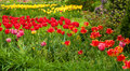 Swath of tulips a bright red across a lush garden landscape Stock Image