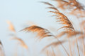 Swaying reeds in front of water Royalty Free Stock Photo