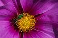 Sweat bee on a flower Stock Image