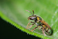 Sweat Bee Royalty Free Stock Photo