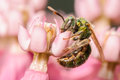 Sweat bee green on a pink flower bloom Stock Photography