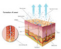 Sweating medical illustration of the formation of sweat Royalty Free Stock Photos